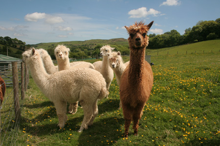 Chrysalis Alpacas